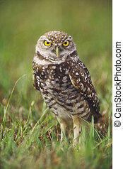 Burrowing Owl - Burrowing owl Athene cunicularia adult at...
