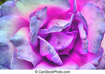Tri Color Rose - Rose with pink, blue, purple even grey...