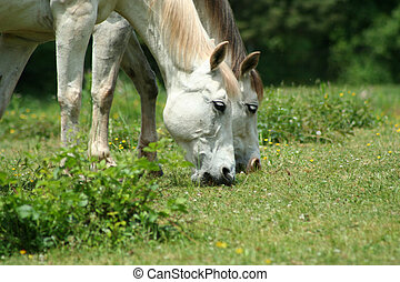 Two white horses - an image of two white horses