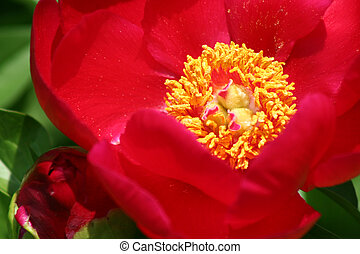 Red peony flower - an image of a Red peony flower with a bud