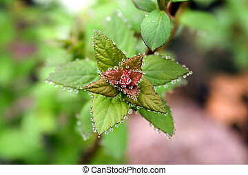 Jeweled Leaf - a plant with dew trimming it\\\'s edges