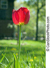 All Alone - a lone red tulip standing tall