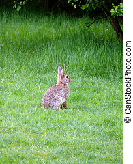 Wild Rabbit - portrait of wild rabbit in green grass