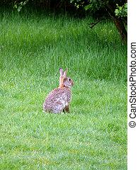 Wild Rabbit - portrait of wild rabbit in green grass