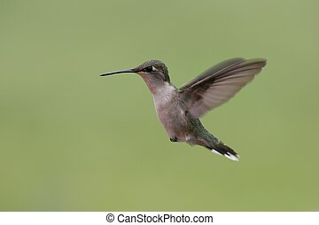 Hummingbird in flight 2 - this hummer was coming in for a...