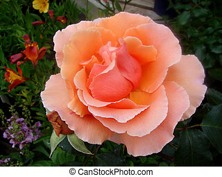 The Rose - Close up shot of a Rose named Just Joey...