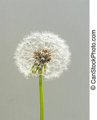 dandelion seed - Close-up of transparent dandelion seeds...