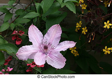 wonderful clematis in the summer
