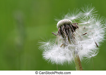 Dandelion 2 - With more than half of its bracts and seeds...