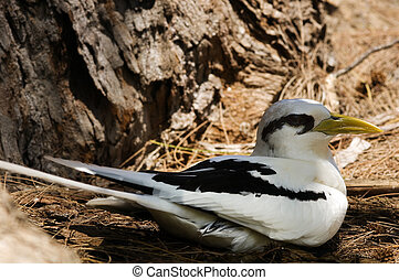 White-tailed Tropicbird (Phaethon lepturus) on the nest,...