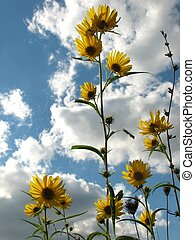 Wild Sunflowers - Sunflowers against the sky