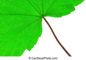 Green leaf and stem macro against a white background.