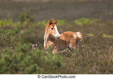 Wild Foal - Wild horse foal standing amongst the heather