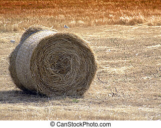 Haystacks - Tumbleweed and haystacks in a field in the...