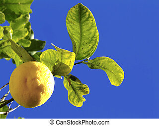 Lemon Tree - Detail of fruit bearing tree in the...