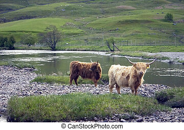 Highland Cattle 3 - A herd of highland cattle in a remote...