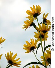 Yellow Wild Sunflowers - A photo of some yellow wildflowers.