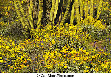 Organ Pipe Cactus NM - Desert landscape with Brittlebush...