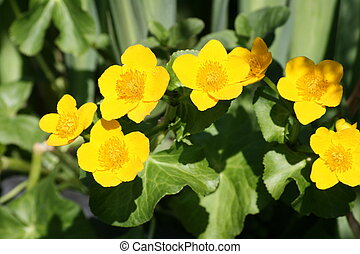 marsh marigold - close up of marigold