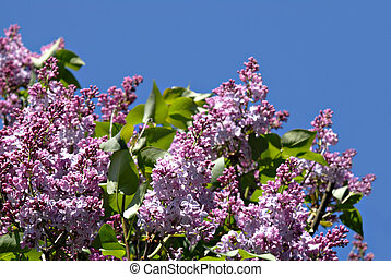 Of Lilacs and Blue Sky - Beautiful purple lilacs spring into...
