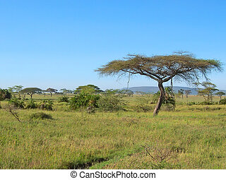 Acacia in the african savanna, Serengeti park, Tanzania -...