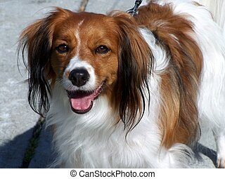 "Cavalier King Charles Spaniel - A happy \""smiling\\\""..."