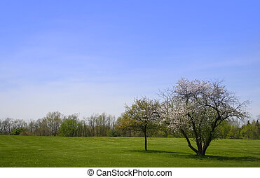 Spring Scene - Trees with spring bloom in a park wide angle...