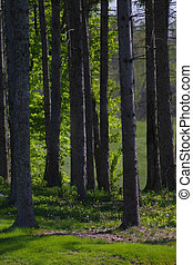 Tall Trees - Tall trees in a group by the golf course