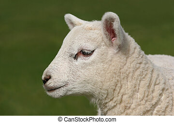 Profile of a Lamb - Profile of the face of a new born white...