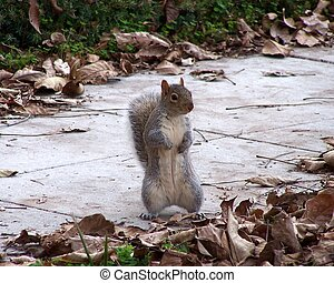 Dancing Squirrel - A squirrel standing on its haunches,...