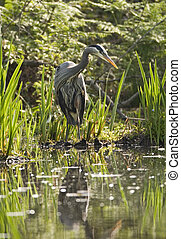 Great Blue Heron In Marsh - A great blue heron standing at...