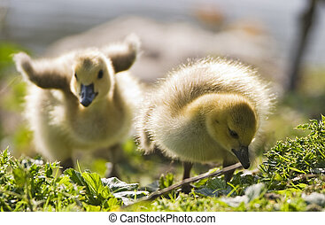 Two Baby Geese - Two fat little goslings stumbling over...
