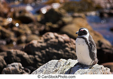 Jackass Penguin #4 - Jackass Penguins (Spheniscus demersus)...