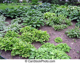 Hosta Garden - Shady garden of variegated hosta plants