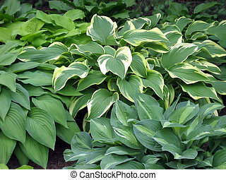 Hosta Garden - Variegated hosta plants in a shady garden