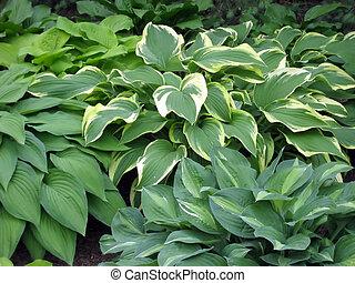 Hosta Garden - Variegated hosta plants in a shady garden