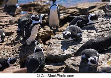 Jackass Penguin 8 - Jackass Penguins Spheniscus demersus...