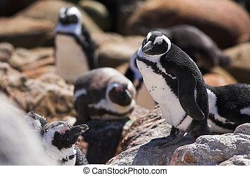Jackass Penguin #16 - Jackass Penguins (Spheniscus demersus)...