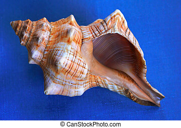 seashells up close - large conch shell showing striped...