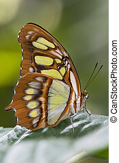 Malachite Butterfly Siproeta stelenes located in central...