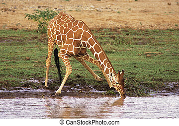 Reticulated Giraffe (Giraffa camelopardalis) drinking water...