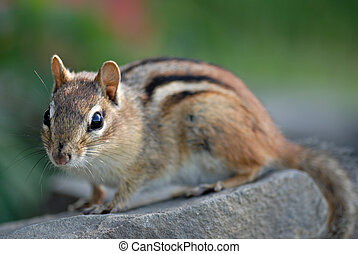 Chipmunk Portrait - A frisky young chipmunk stops briefly...