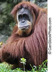 Orangutan (Pongo pygmaeus), Borneo, Indonesia - Orangutan...