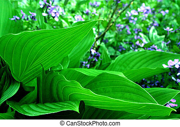 Hostas Take Shape - Hostas in Spring Garden Canada