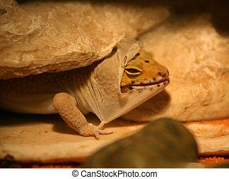 Shedding Leopard Gecko - Leopard Gecko Shedding it\\\'s Skin