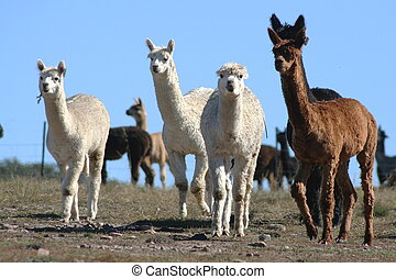 Alpacas - Herd of alpacas