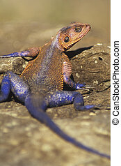 Red-headed, Agama