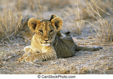 Lion Cub - Eight week old Lion cub Panthera leo Masia Mara...