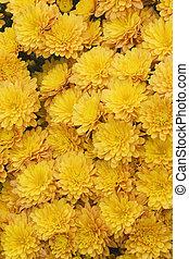 Mums (Chrysanthemum spp.)
