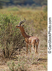 Gerenuk Litocranius walleri Feeding in the Samburu National...